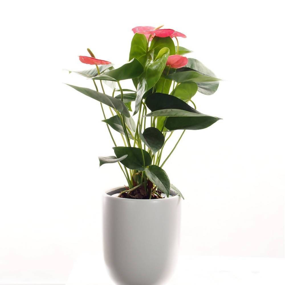 Anthurium mini red in ceramic pot