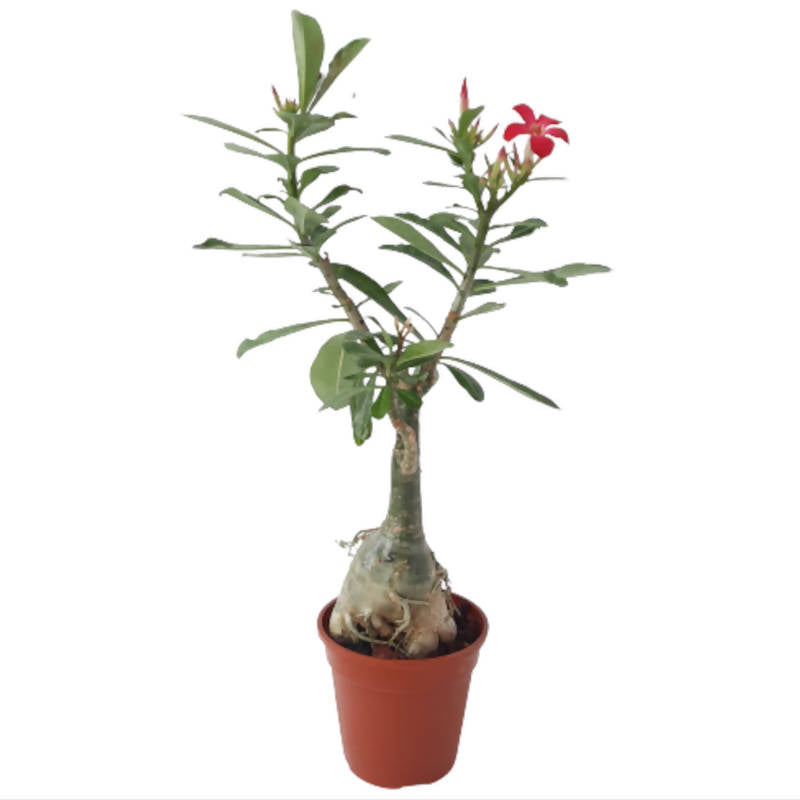 Adenium Obesum, Desert Rose grafted with multi-layer flowers