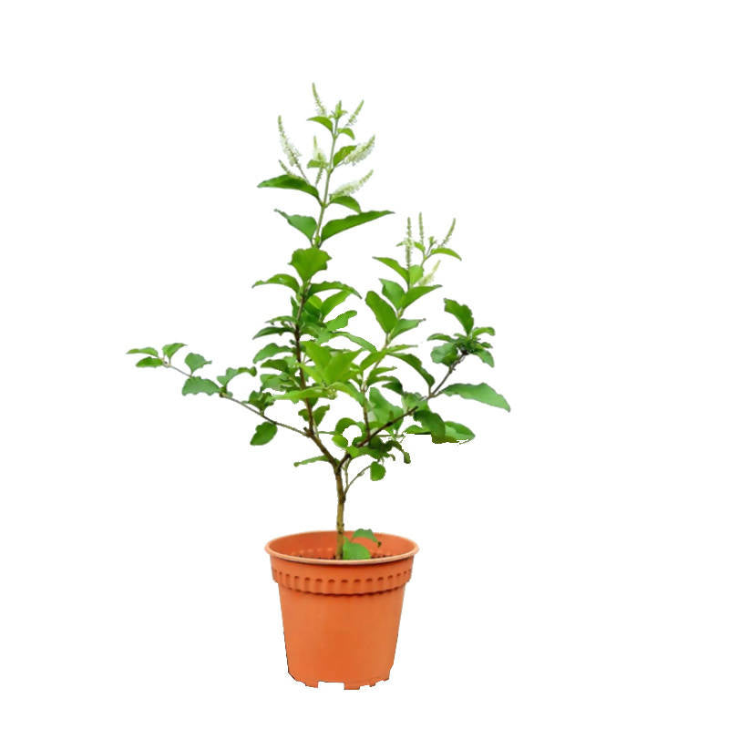 Aloysia virgata, Sweet Almond Verbena, Incense Bush (0.3mH)