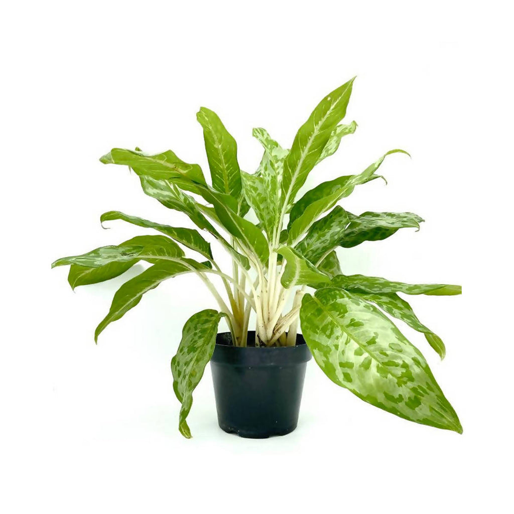 Aglaonema Army (0.35m)