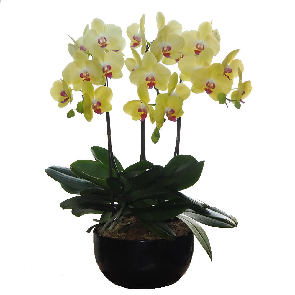3 in 1 Phalaenopsis Yellow in Black Pot