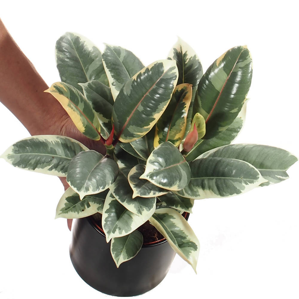 Ficus elastica variegata in ceramic pot