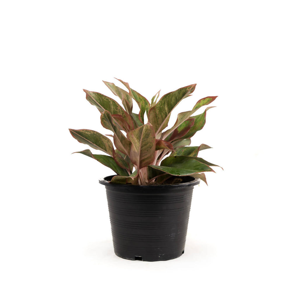 Aglaonema 'Red Siam', Chinese Evergreen (0.3m)