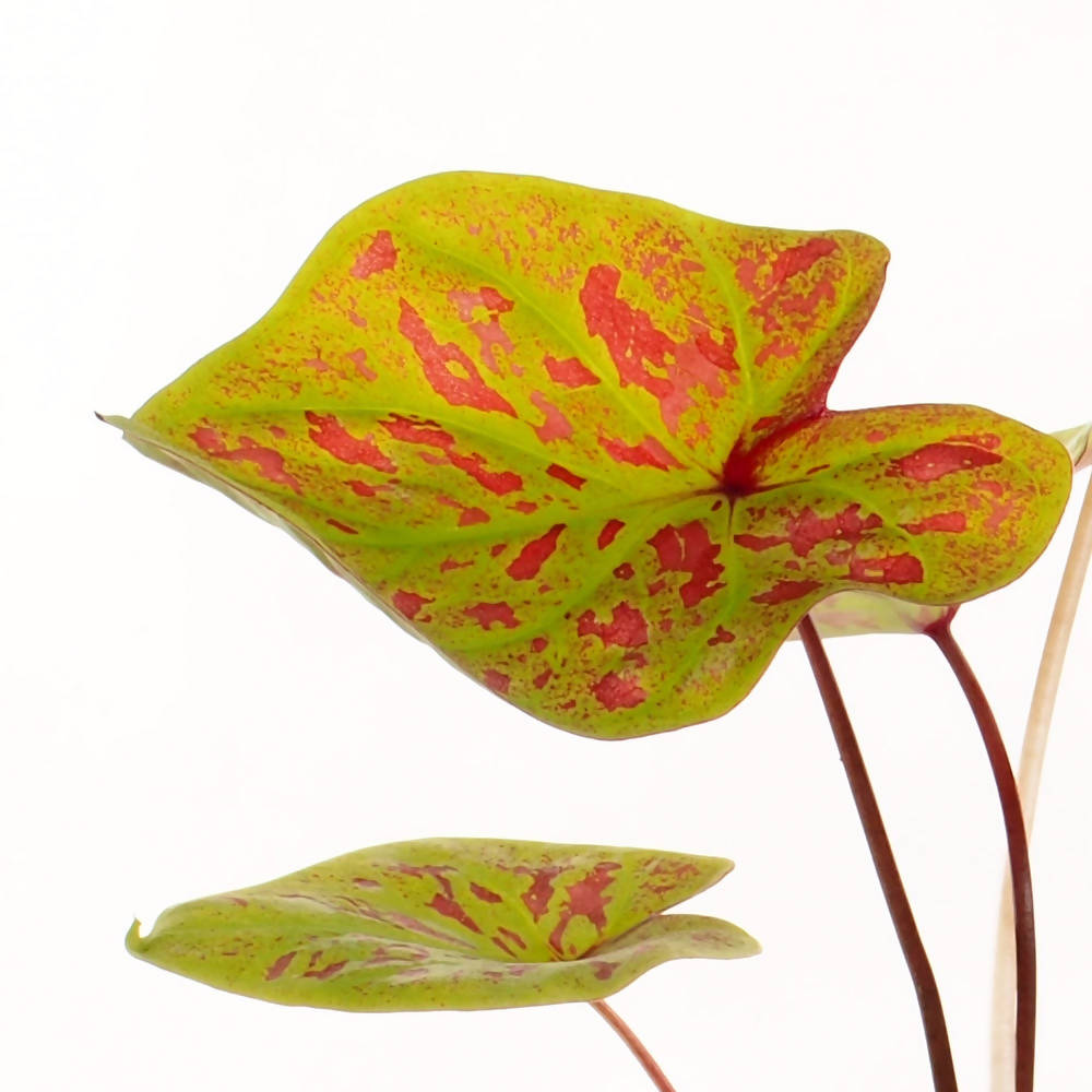 Caladium Yellow in Ceramic Pot
