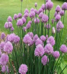 Where to buy Chive near me? Buy Chive Plants online. Fast to plant easy to grow. A gardening delight. Plant in chumps and feed -   Feed and Grow Plant Food once a month.  Buy many and