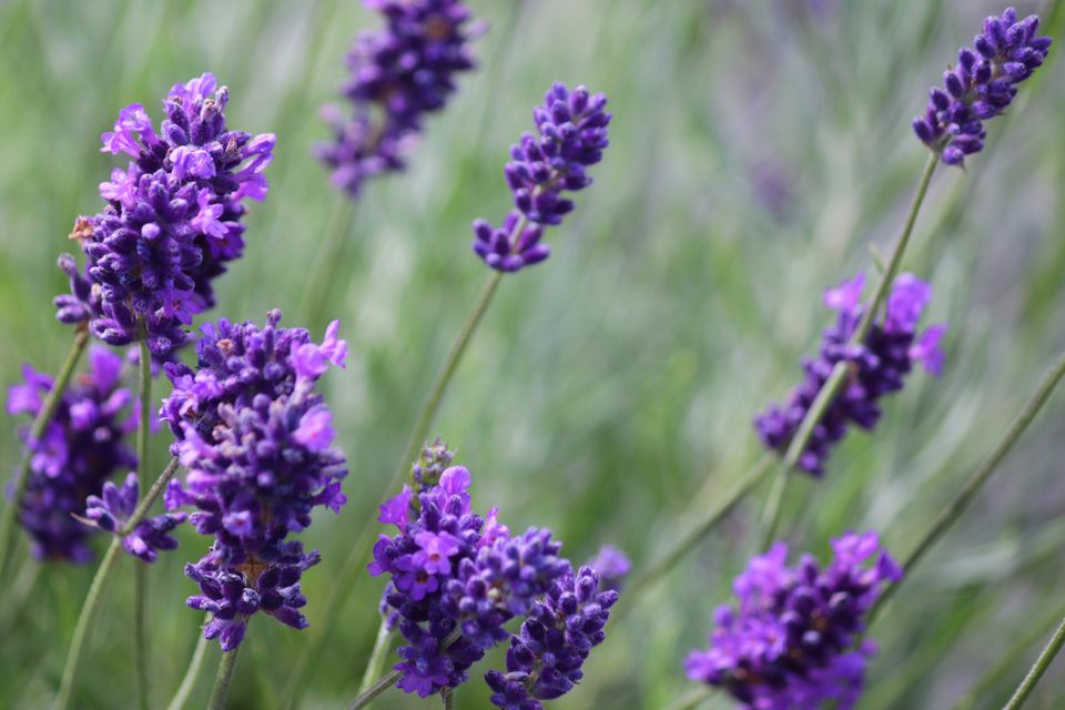lavender plants for sale near me. Bright purple. Great herb plants with many benefits. Buy many and dry.