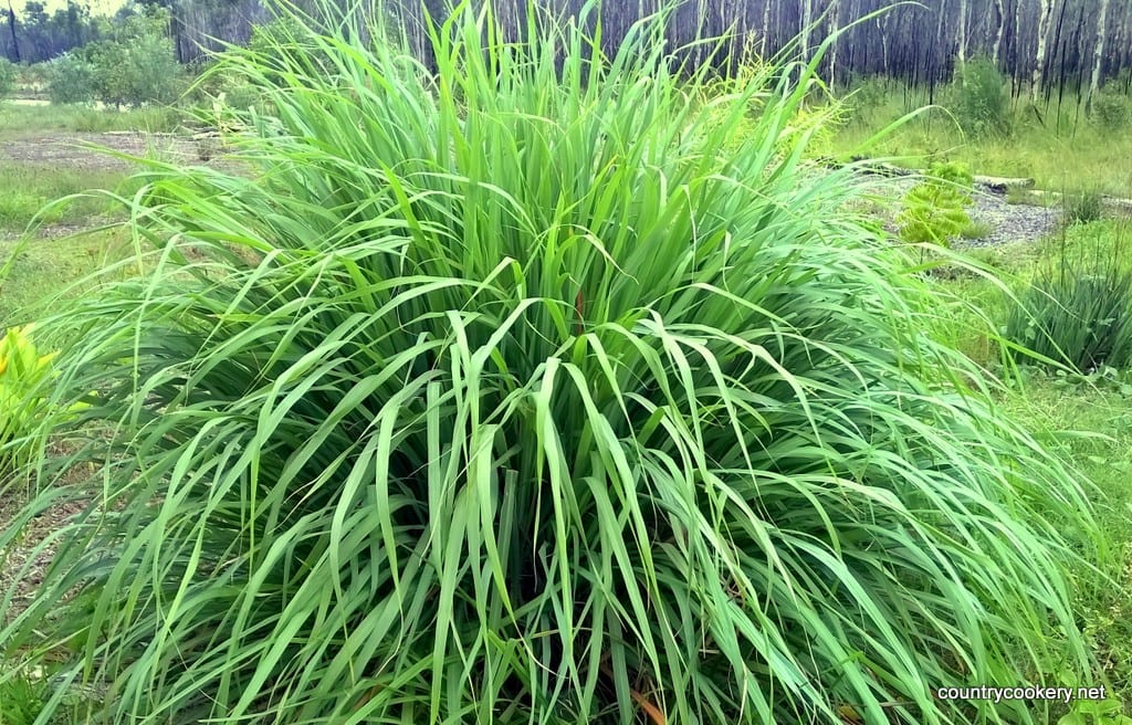 Lemon Grass plants are easy to grow and garden plenty. Where to buy near me? Amazing flavor. Clip and dry often and enjoy organic Lemon Grass when there is none. Excellent tea, soups, gravies.