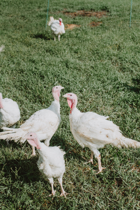 Totally Free Range Turkeys