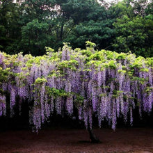 Load image into Gallery viewer, Climbing Plants Flower Seeds Perennial Mixed Wisteria Seeds Home Garden