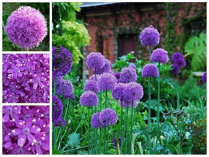 100Pcs Purple Giant Allium giganteum Regel Beautiful Flower Seeds Garden Plant