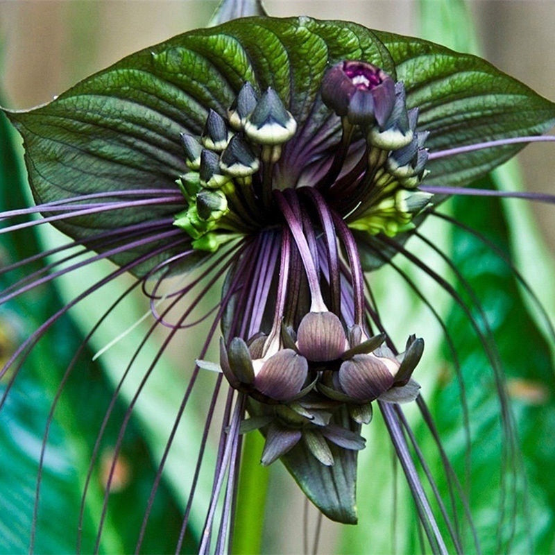 10pcs funny rare black bat tacca chantrieri whiskers flower seeds garden plant