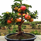 20pcs Very good Dwarf Apple seeds bonsai apple Tree Plant Fruit Trees Seeds sweet food for Indoor garden