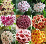 NEW 100Pcs Mixed Color new Hoya seeds orchid seeds Home Garden Plant Seed Garden Decor