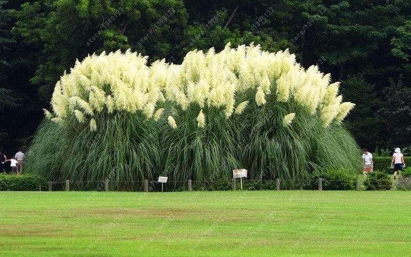 300 PCS / Bag Beautiful Garden 4 Colors Pampas Grass Seeds Home DIY Garden Planting Selloana Garden Decoration Seed Four Seasons Flowering Plants Seed