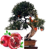 100pcs pomegranate seeds fruit succulents Tree bonsai very sweet Delicious