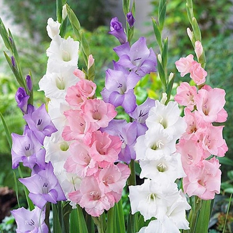 100 Pcs Gladiolus Bulbs Beautiful Gladiolus Flower Seeds Flower Symbolizes Longevity Plant Seeds