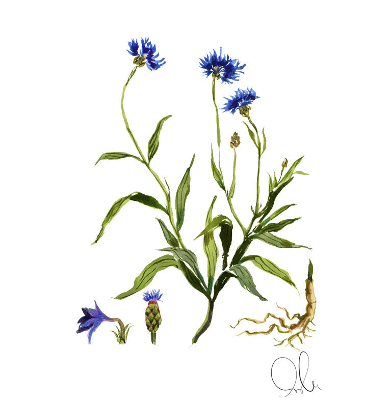 Botanical Print: Cornflower