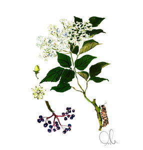 Botanical Print: Elderberry