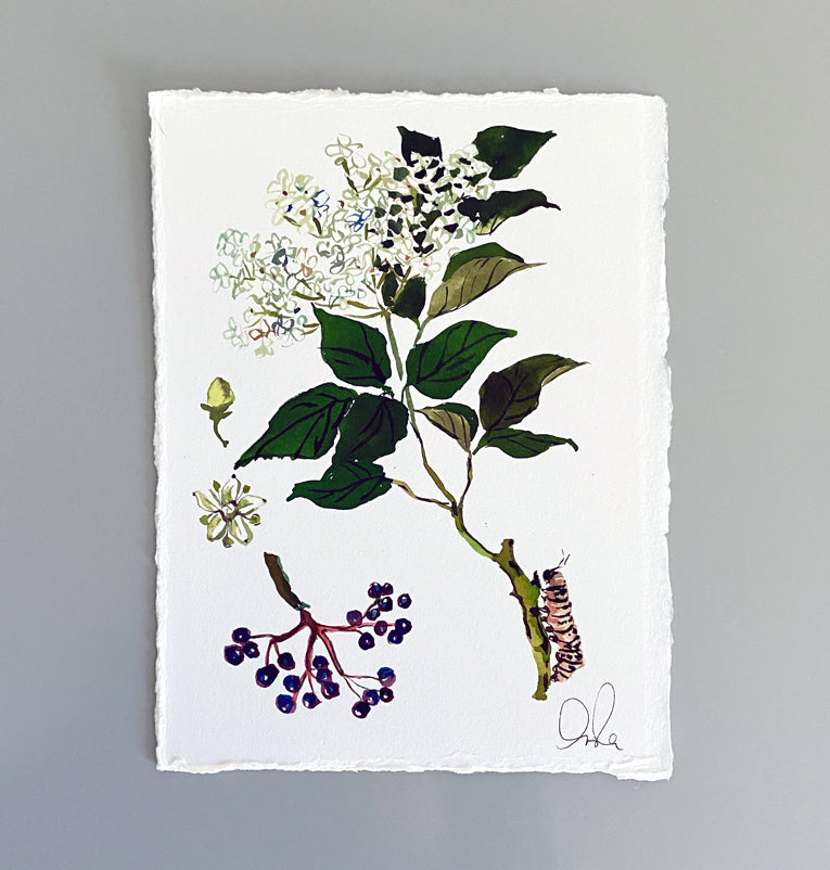 Botanical Original: Elderberry
