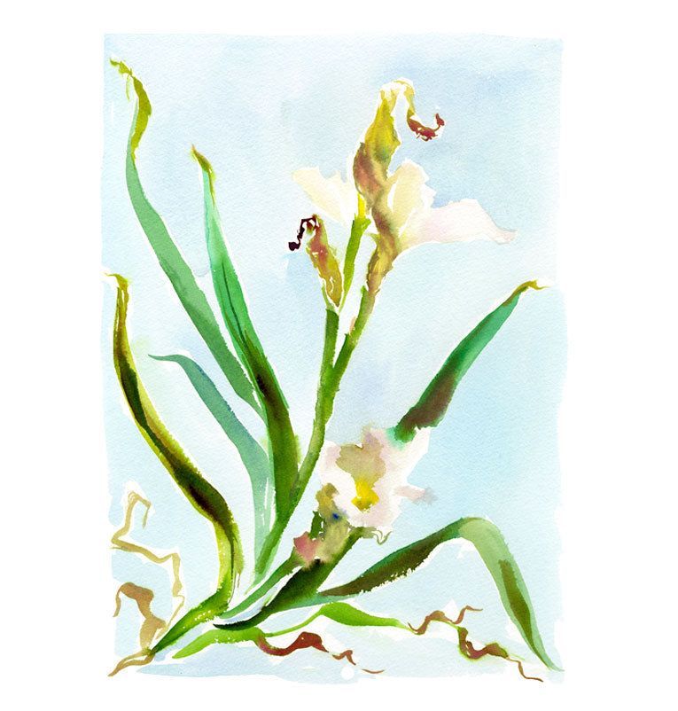 Large Botanical Print: White Iris on Blue No. 2