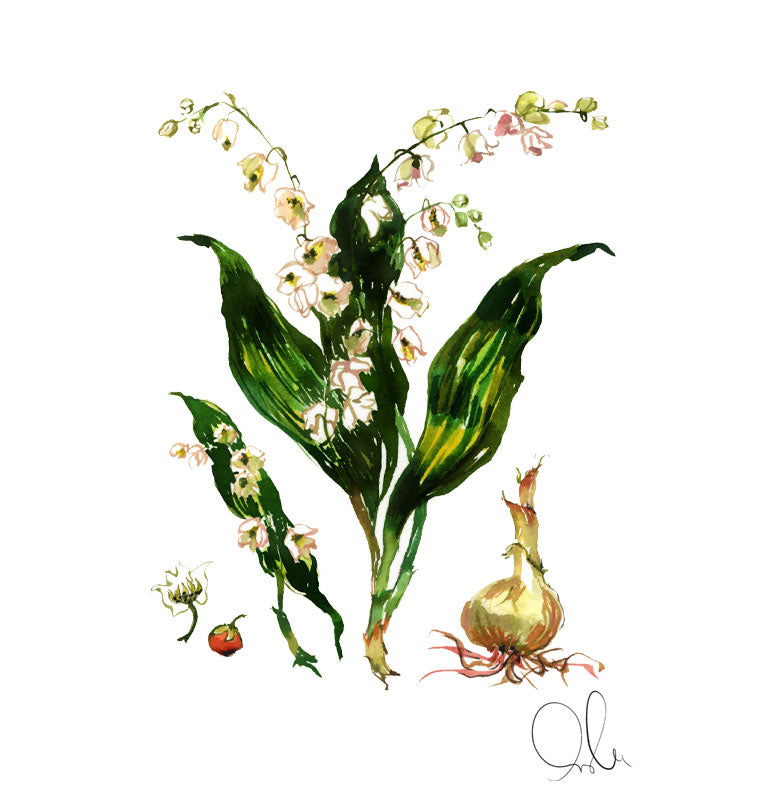 Botanical Print: Lily of the Valley
