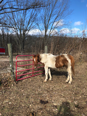 Cherokee: 24 year old Quarter Horse (retired)
