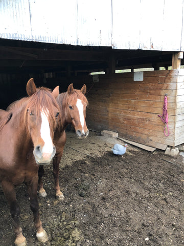 Grace and Ana: 12 and 14 year old full sister Morgans (often found together)