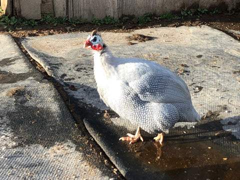 Winston: 8 year old South African Guinea Fowl