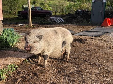 Peanut: 10 year old Potbelly Pig who loves kisses on the nose