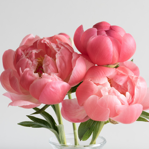 Pre-Order: Coral Charm Peony - Cheer me up