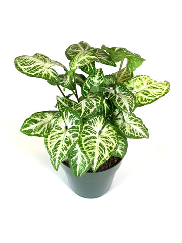 "Syngonium ""Arrow Head Plant"" Green/White"