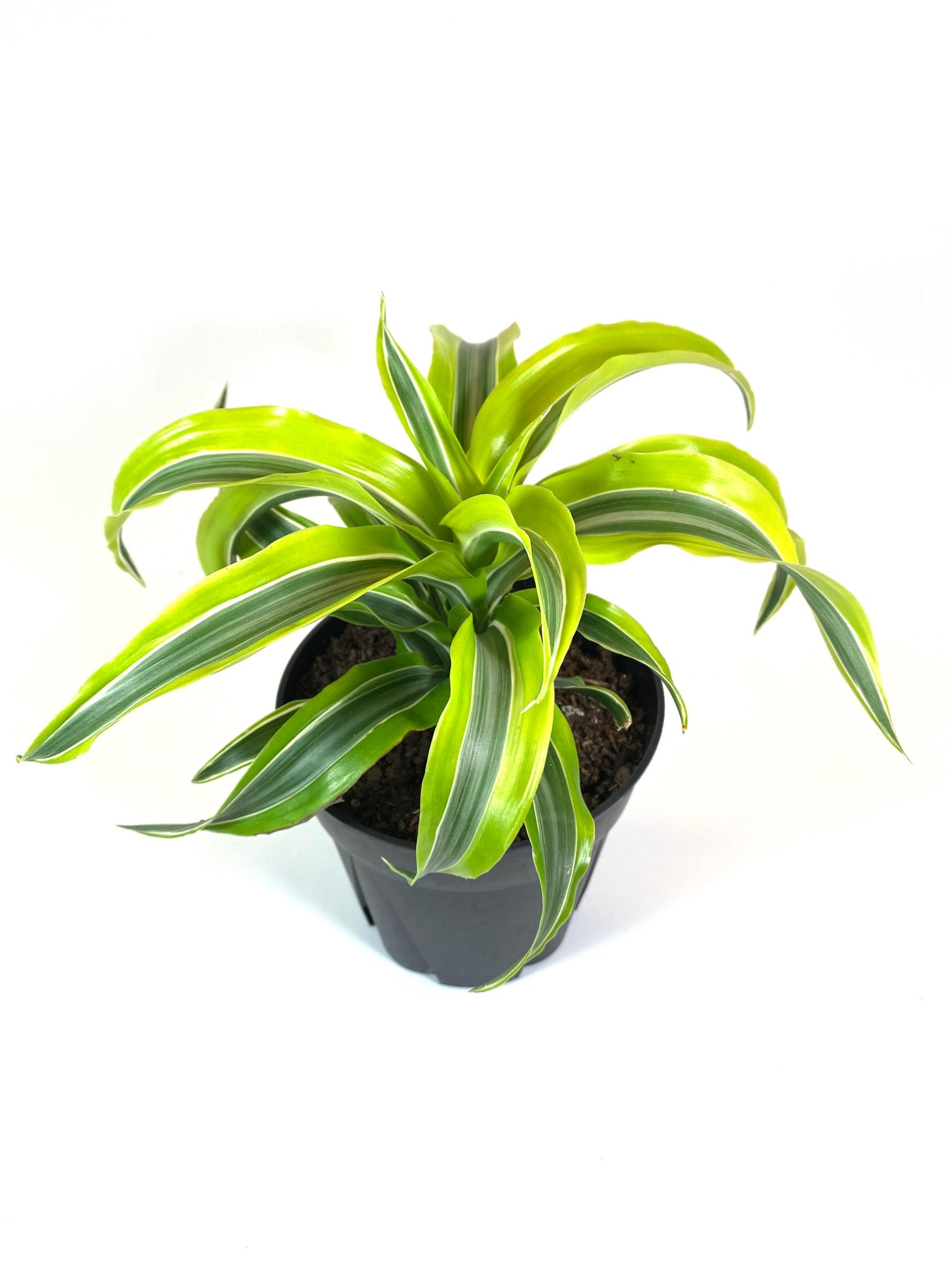 """Lemon Lime"" Dracaena"