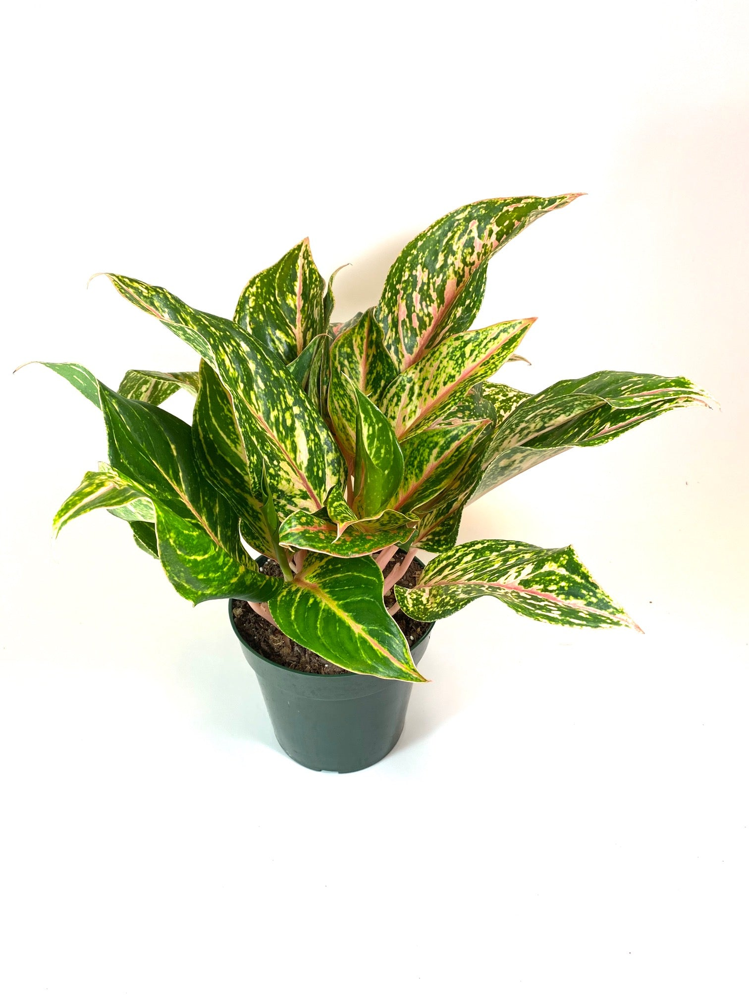 "Aglaonema ""Pink Chinese Evergreen"""