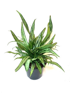 "Aglaonema Cutless ""Chinese Evergreen"""