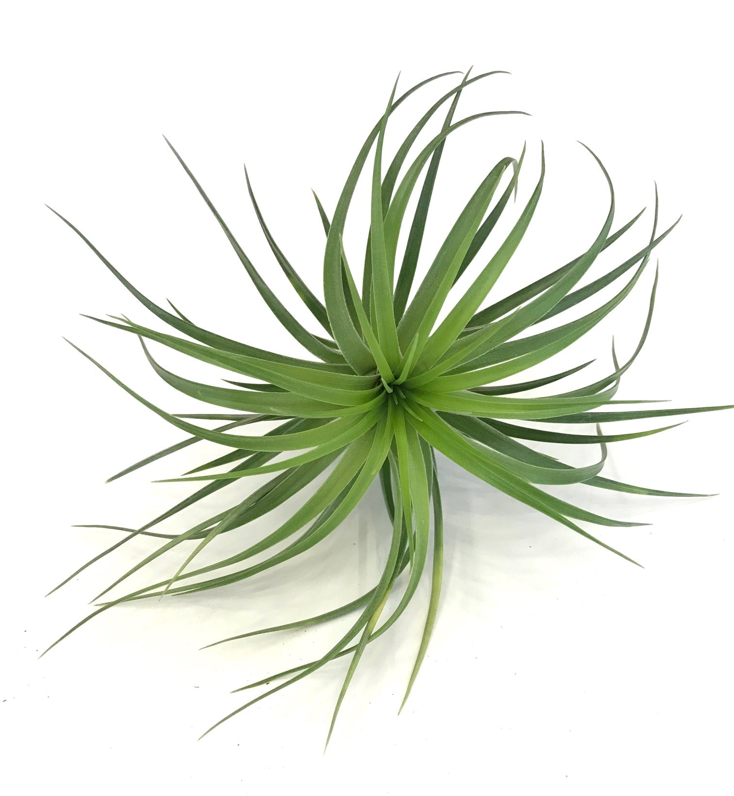 Airplant Care Card