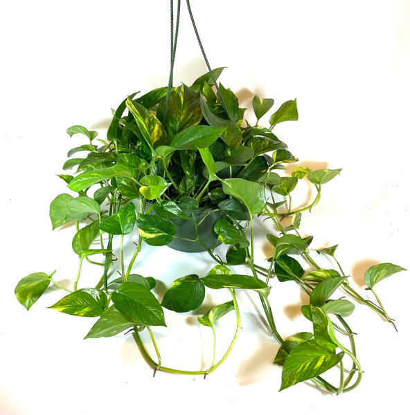 """Golden"" Pothos"