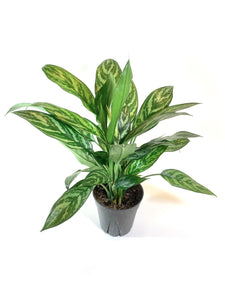 """Tigress"" Aglaonema"