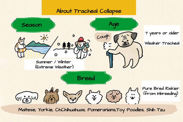 About Tracheal Collapse in dogs - Susceptible Breeds, Season and Age