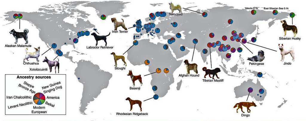 Today's dogs can trace their ancestry to canines that lived up to 11,000 years ago.