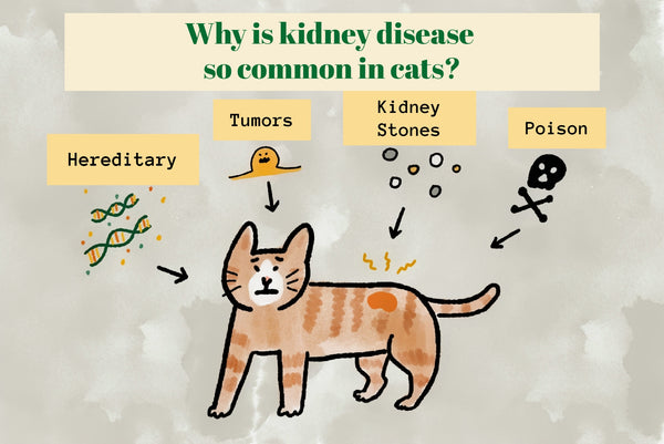 Why is kidney disease so common in cats?