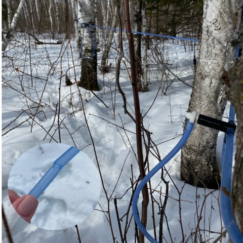 The Canadian Birch Company birch forest in winter. There is several feet of snow on the ground, birch trees and the lateral sap collection lines are shown in the scene. A hand is holding a close up view of a line that has been chewed by a small animal, likely a squirrel. That line will need to be patched.