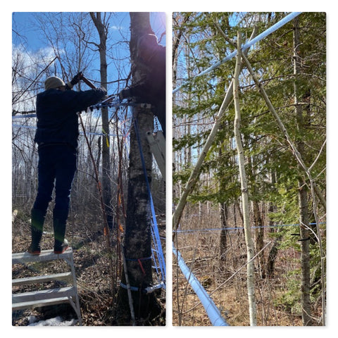 Glenda and Rory's family assisting with sap line maintenance. Birch log tripod holding up the sap lines.