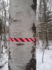 Close up of a healthy mature birch tree approximately 9 inches in diameter adorned with a bright neon pink surveyor tape, flagged for tapping.