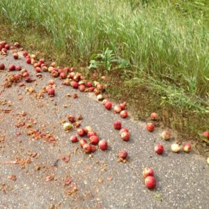 many apples lying on the side of the road, some run over.