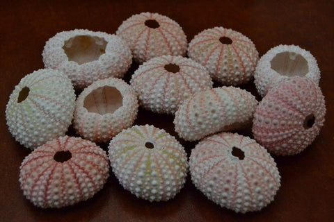 100 Pcs Pink Sea Uchins