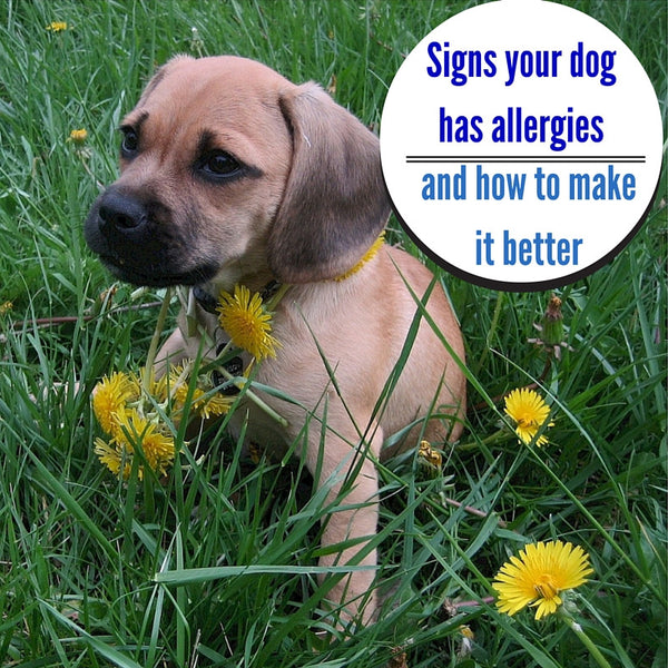 Signs Your Dog Has Allergies and How to Make It Better