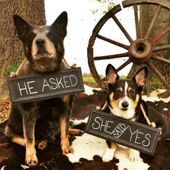 Cattle dog and corgi with chalkboard signs around neck with engagement announcement.