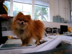 Tiny Pomeranian on a desk top at work.