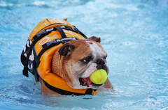 Bulldog in a pool with a life jacket on and a tennis ball in his mouth.