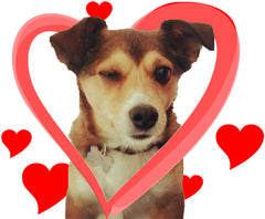 Valentine Pet Theft Heart-filled with a winking chihuahua mix dog.